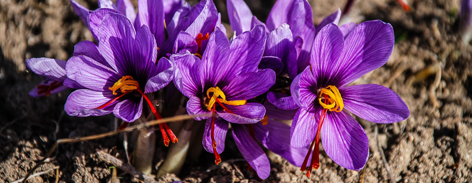 """Saffron: how to recognize the """"true"""" Red Gold"""