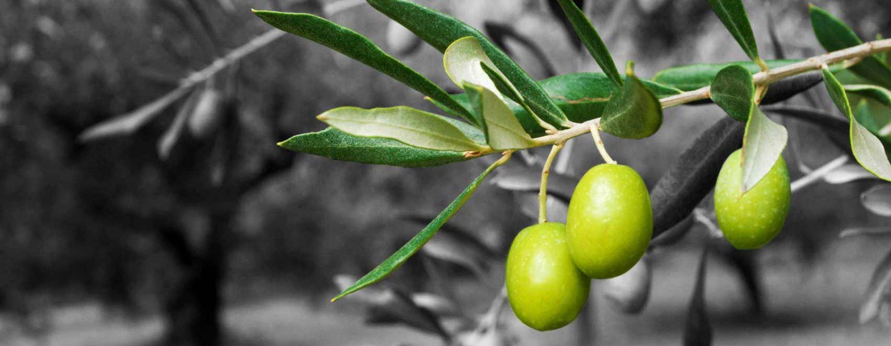 El Oro Verde del Agro Pontino